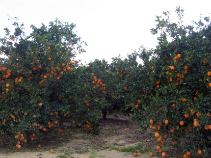 Orange trees, laden with fruit