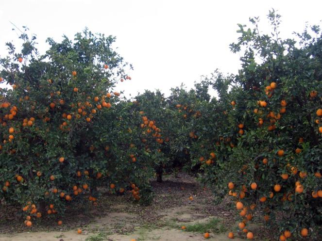 Orange trees, laden with fruit