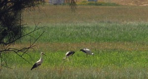 Storks by the White House Gallery