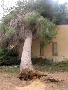 Windstorm, May 4, tree falls onto Library, Ma'ale Habsor
